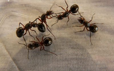 DIY Remedies to Get Rid of Ants