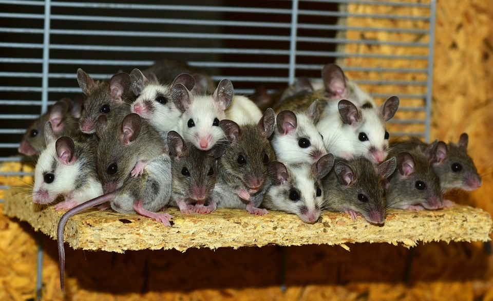 How Do Mice Communicate With One Another