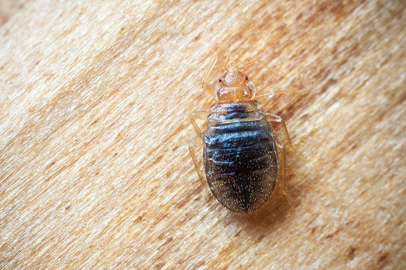 Bed Bug Control and Removal