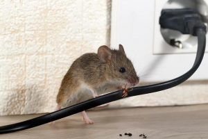 Mouse Chewing on Wire - Mouse Control and Extermination in Vancouver Area