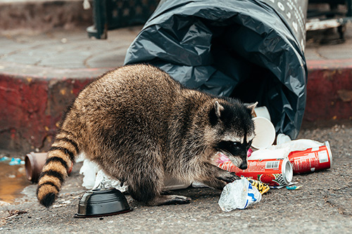 Raccoon Control and Removal Company