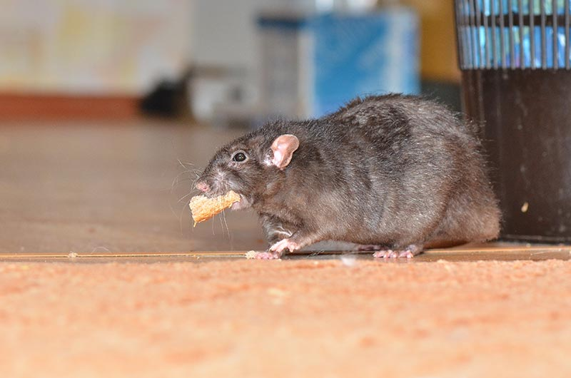 Rat Scavenging for Food - Rat Control and Extermination