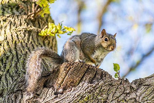 Squirrel Pest Control and Removal
